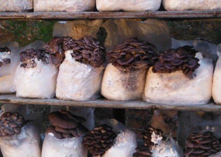 Learn to Grow oyster mushrooms  Forest Fungi