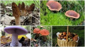 Forest Mushrooms Australia3