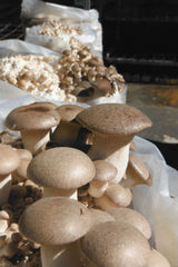 King Oyster Forest Fungi