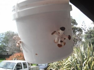 Grow mushroom in a bucket