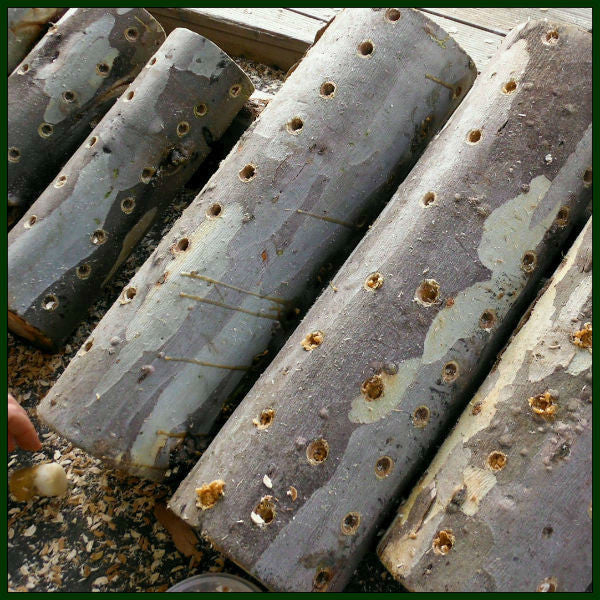 Inoculated Shiitake Dowels