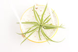 White and Yellow Daisy Air Plant Hanger / Plant Collection