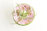 Pink Speckled and Green Daisy Air Plant Hanger / Plant Collection