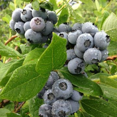 bunches of blueberries