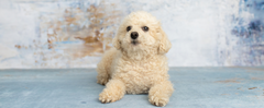 Meet The Breeds: Toy Poodle