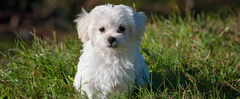 Meet The Breeds: Maltese