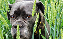 Is A Grain Free Diet Good For Your Dogs And Cats?