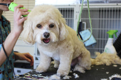 Where to find your Dog groomer in Singapore!