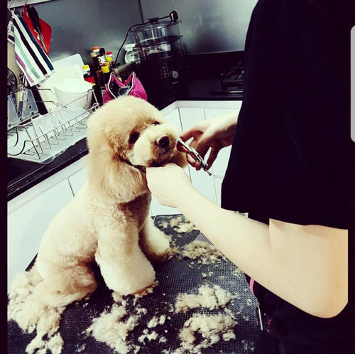 Life of a Home Groomer In Singapore