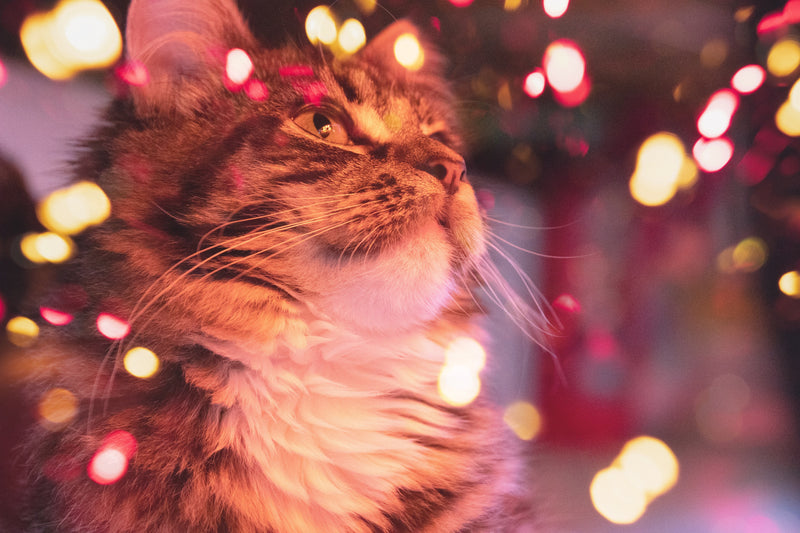 Cats And Laser Lights - Is It OK For Cats To Play With Laser Lights?