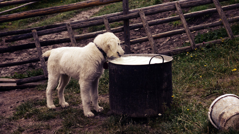 Is Goat Milk Good For Your Pet?