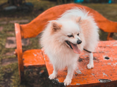 Meet The Breeds: Japanese Spitz