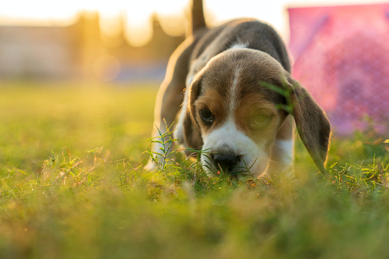 Meet The Breeds: Beagle