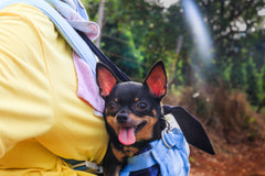 Meet The Breeds: Chihuahua
