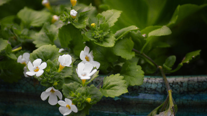 Increase Your Memory with Bacopa Monnieri