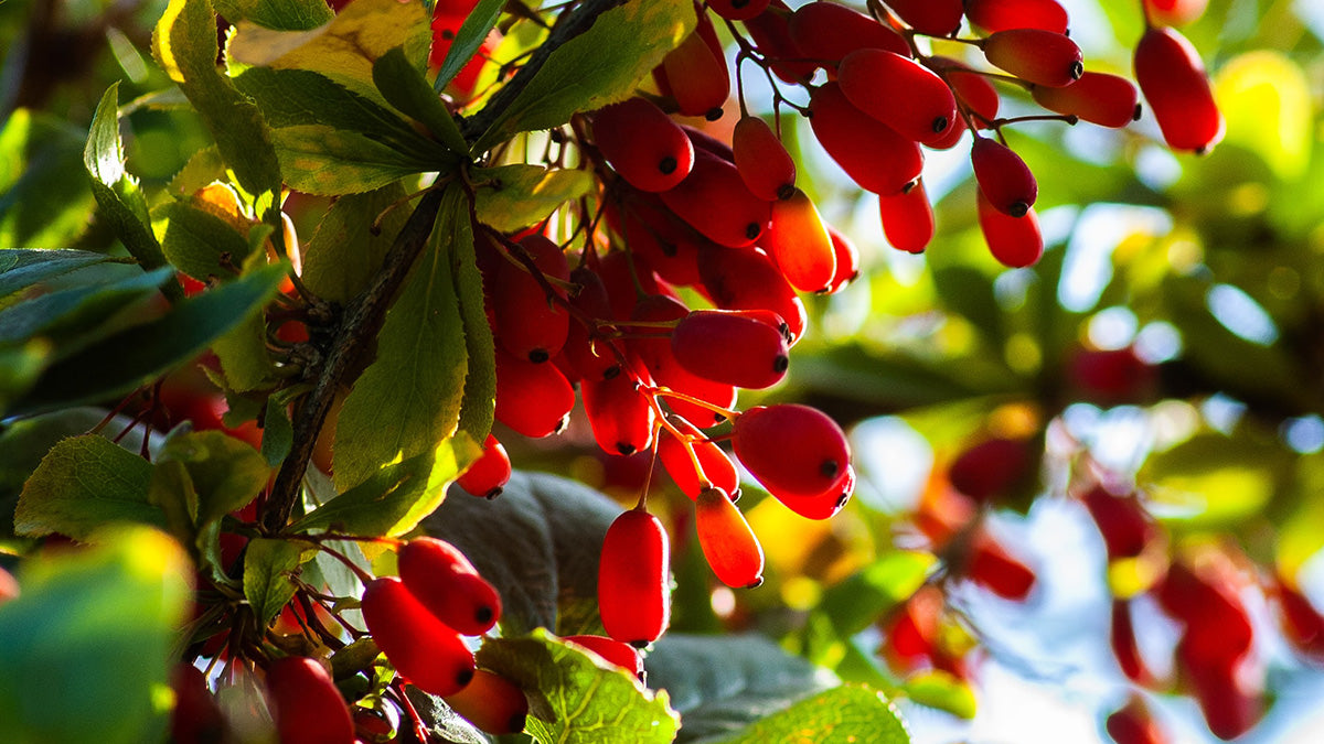 Berberine Is a Promising Life Extension Treatment | Thrivous®