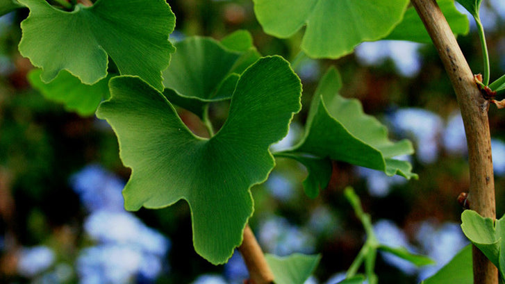 Support Healthy Brain Aging with Ginkgo Biloba