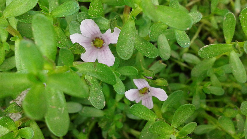 Bacopa Monnieri, Nootropic Herb to Improve Memory