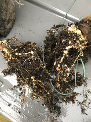 Root Knot Nematode Damage