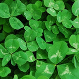 Untreated White Clover Cover Crop - FREE SHIPPING
