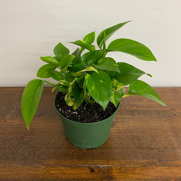 "6"" Golden Pothos"