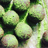 Mizuba Matcha Truffles. Local Juicery