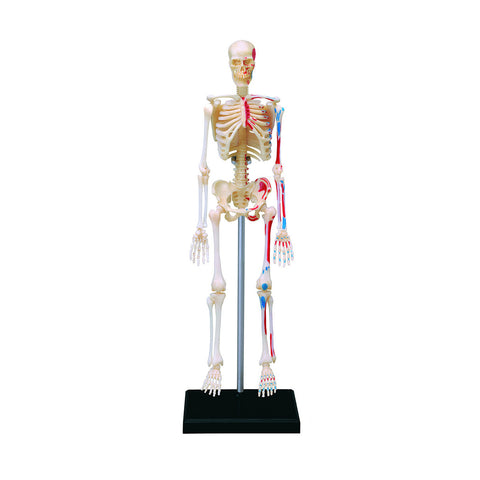 Human Anatomy - Skeleton model
