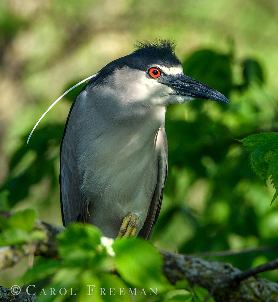 Endangered black-crowned night-herons nest at Lincoln Park Zoo