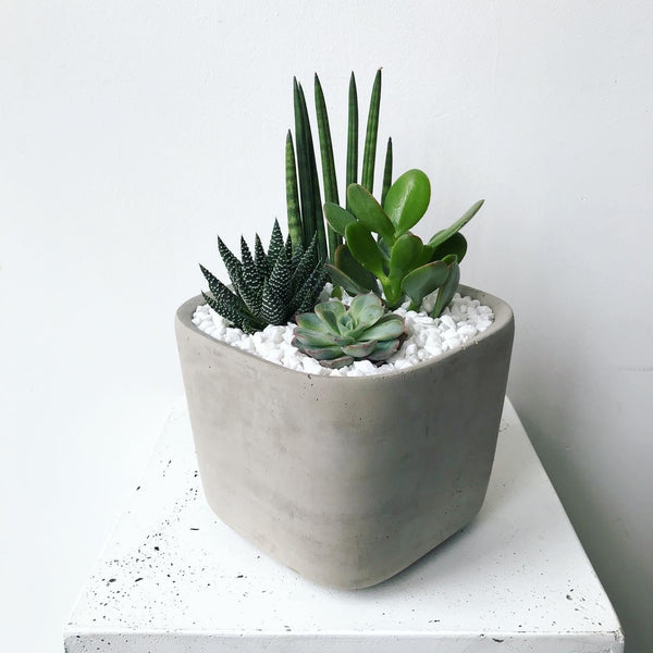 Succulent & Sanseveria Mix | Concrete Planter | DELIVERY ONY ($50 MIN)