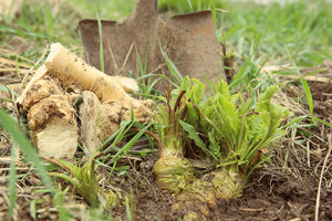 Our Horseradish Is a Descendant Of an Old European Variety