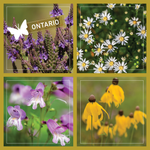 Load image into Gallery viewer, Ontario Butterflyway seeds
