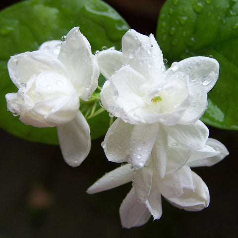 Jasmine Mini/Mogra - Top Perfuming - Fragrant Plants