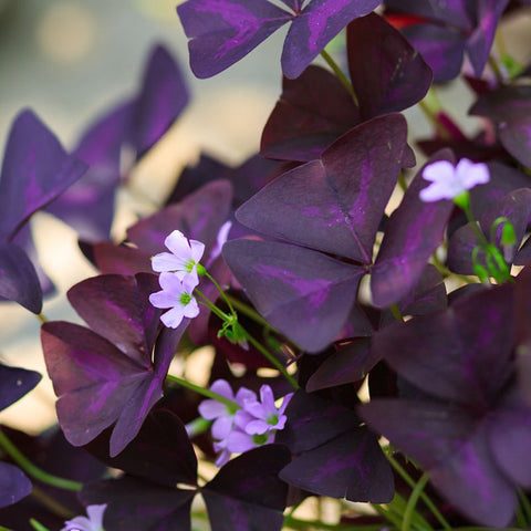 Oxalis Butterfly - Indoor Plants