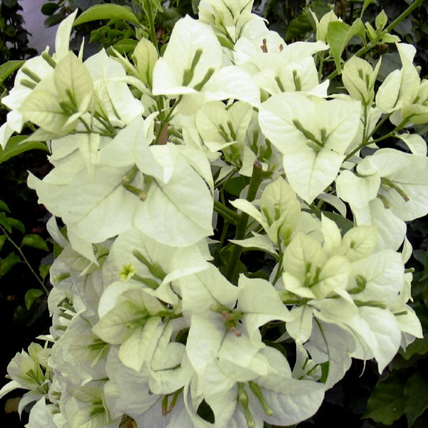 Bougainvillea white flowering shrubs exoticflora for White flowering bush