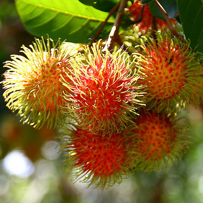 Rambutan - Fruit Plants & Tree – Exoticflora