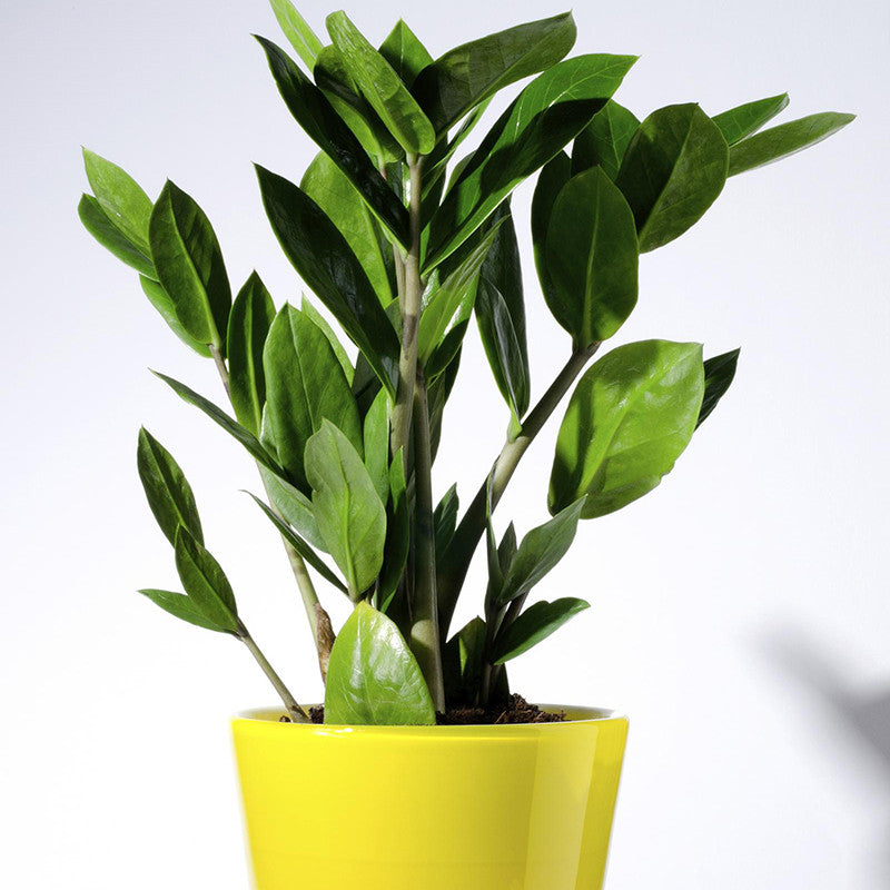 Zamioculcas zamifolia Or Zamioculcas - Ornamental Shrubs