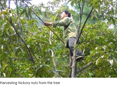 Harvesting hickory nuts from the tree