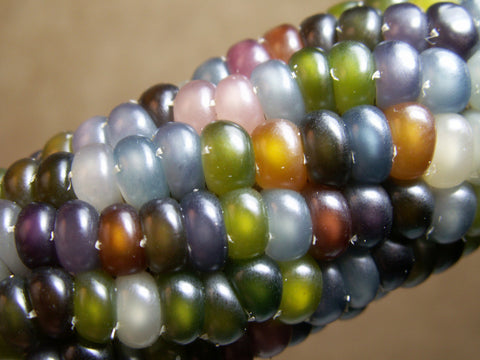Glass Gem Corn Seeds - Rare Heirloom Variety (100+ seeds)