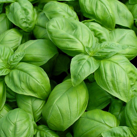 Large Leaf Italian Basil (100 seeds)