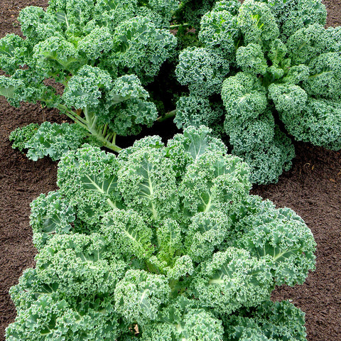 Curly Kale Seeds - Blue Scotch Curled Leaf
