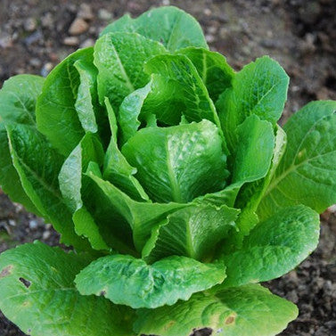 Romaine Lettuce (Paris Island COS) (275 seeds)
