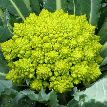 Broccoli Romanesco (50 seeds)