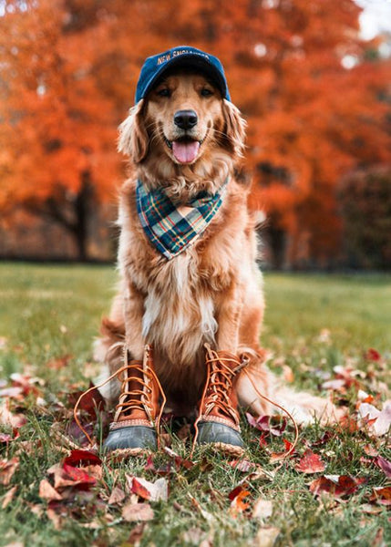 Fall Dog- Golden Retriever Ready for Fall