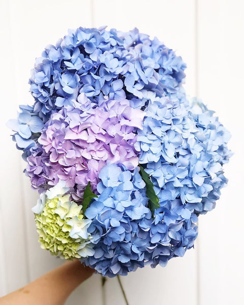 Beautiful blue, lavender, and green hydrangea blooms- tips for keeping hydrangeas alive for a long time