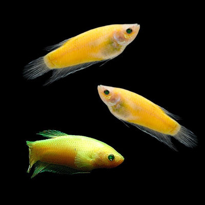 GloFish® Female Betta Add-on Collection