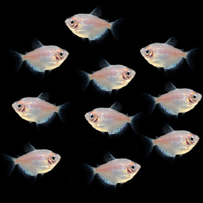 GloFish® April Fools Collection