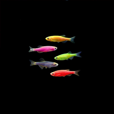 GloFish® Small Assorted Danio Add-on Collection