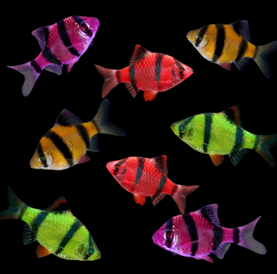 GloFish® Barb Complete Collection