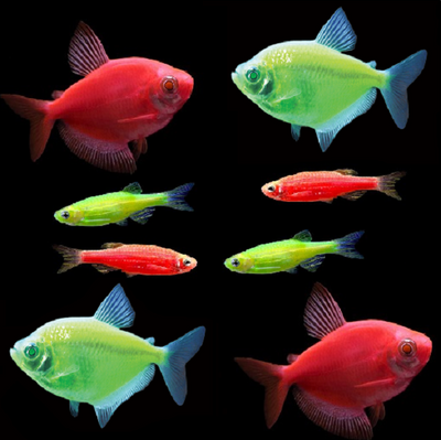 GloFish® Christmas Complete Collection