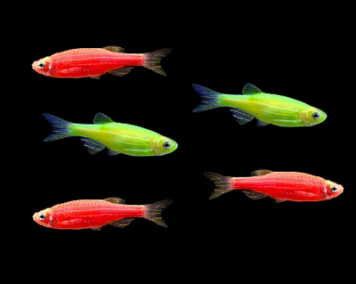 GloFish® Christmas Danio Collection